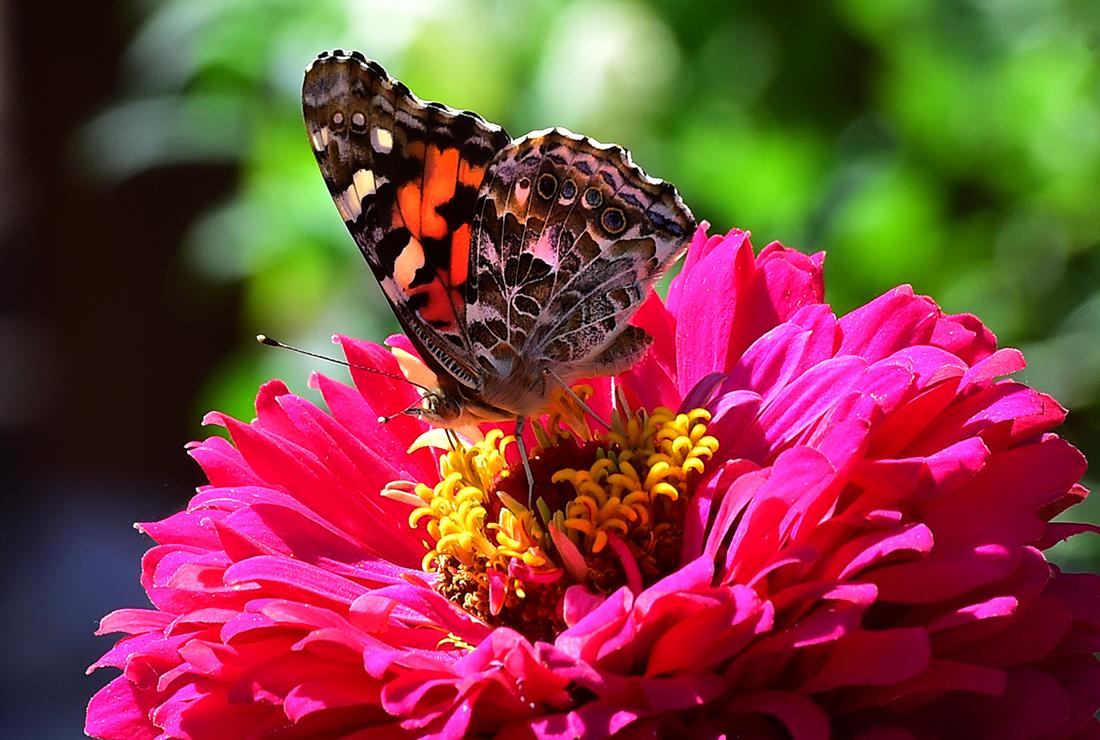 Tổng hợp hình ảnh bươm bướm đẹp nhất