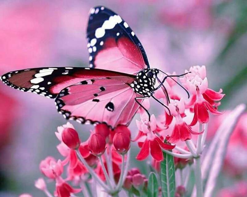 Tổng hợp những hình ảnh bươm bướm đẹp nhất