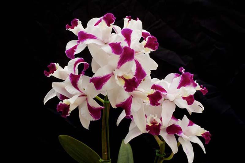 Tuyển tập hoa phong lan tím đẹp nhất