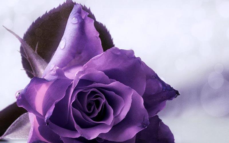 Ý nghĩa hình xăm hoa hồng tím