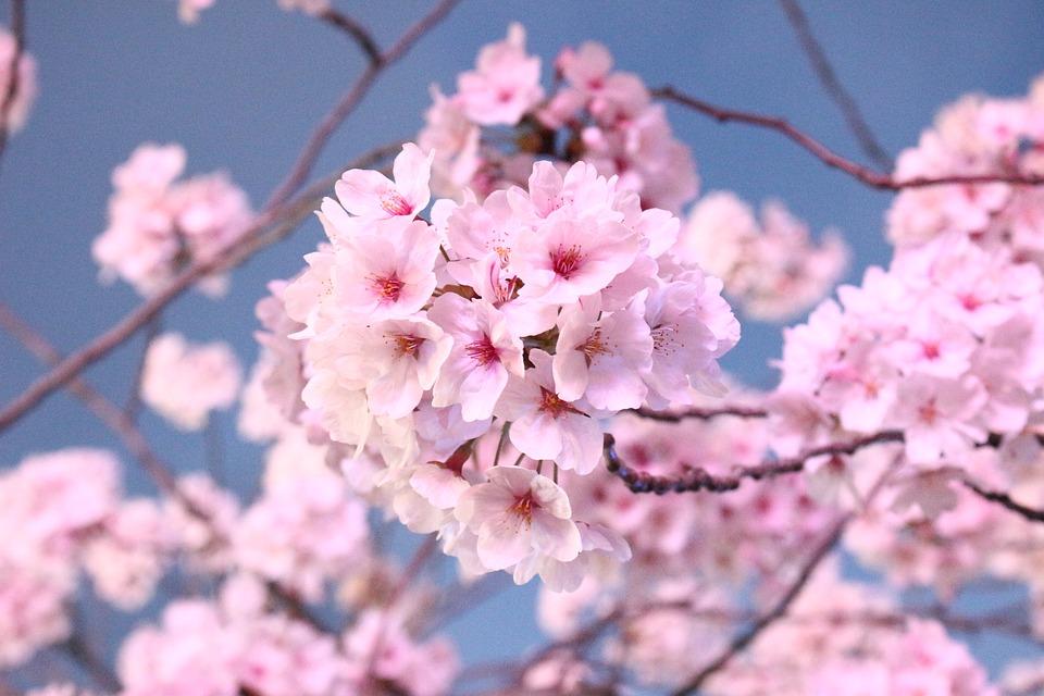 Các loại hoa Đào ngày tết nở đẹp nhất