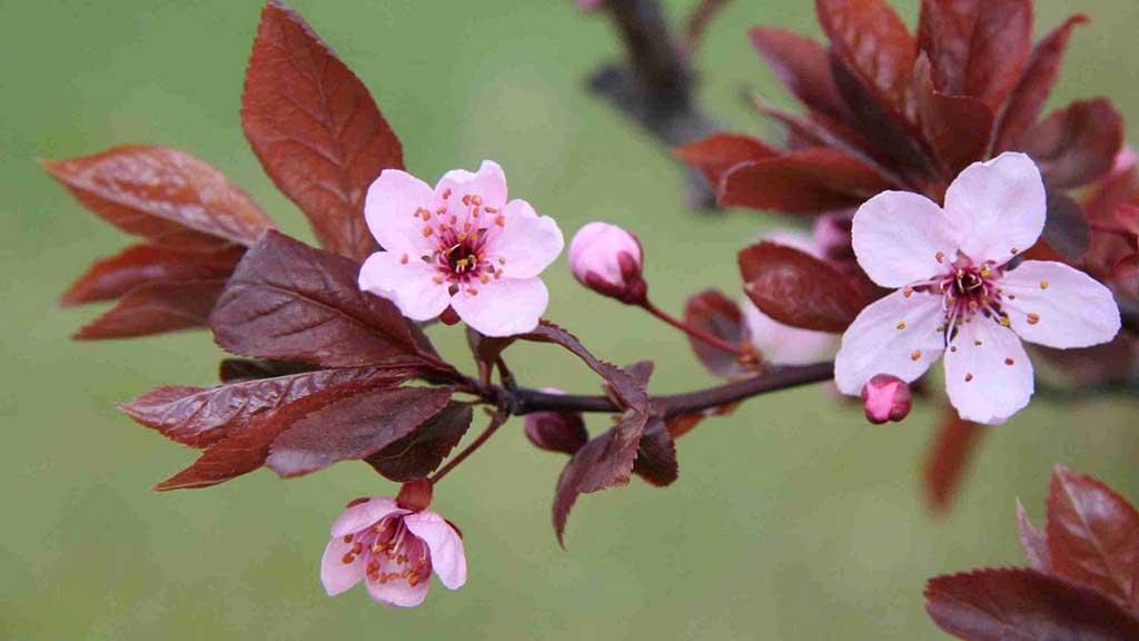 Giới thiệu về hoa đào ngày tết