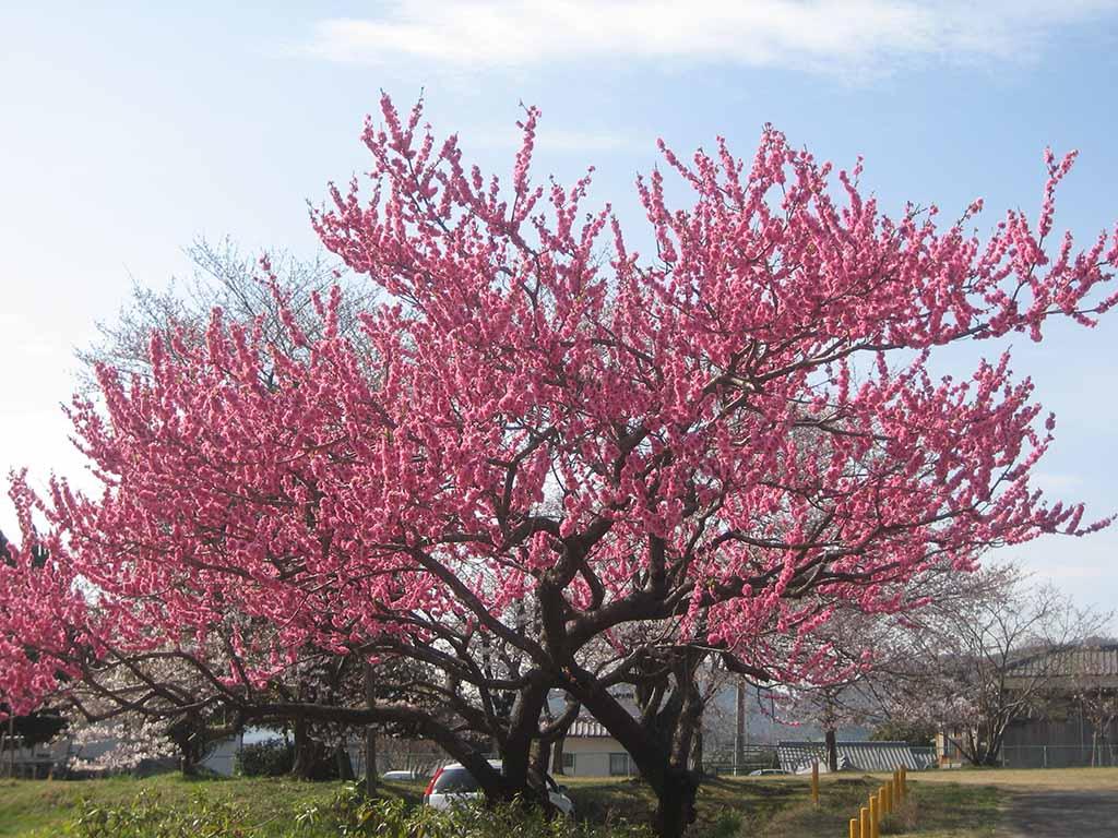 Hình ảnh cây Hoa Đào ngày tết
