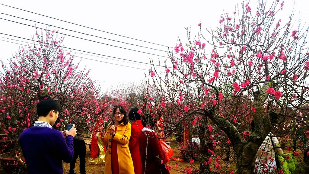 Hình ảnh hoa đào ngày Tết ở Việt Nam