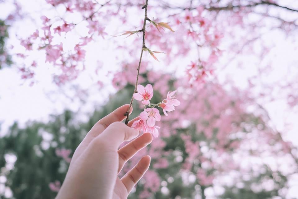Hình ảnh hoa đào nở đẹp trong ngày Tết