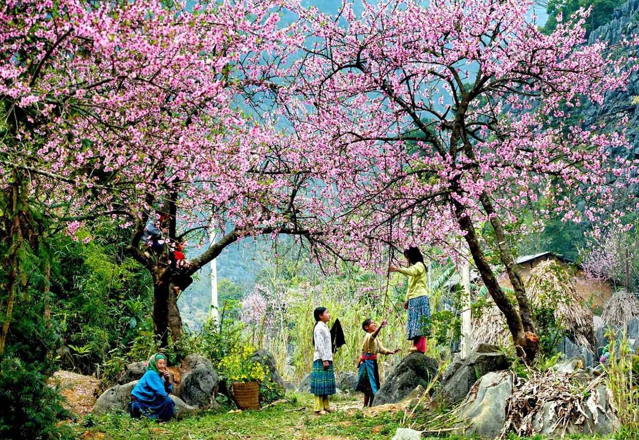 Hình ảnh hoa đào Sapa ngày Tết