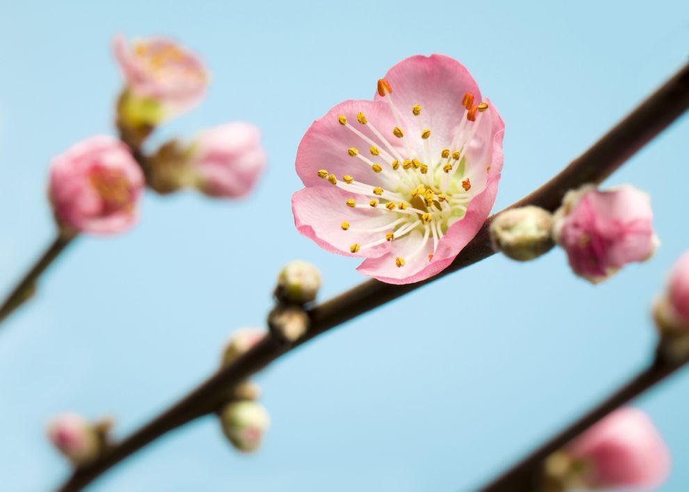 Hình ảnh những bông hoa đào ngày tết đpẹ lung linh