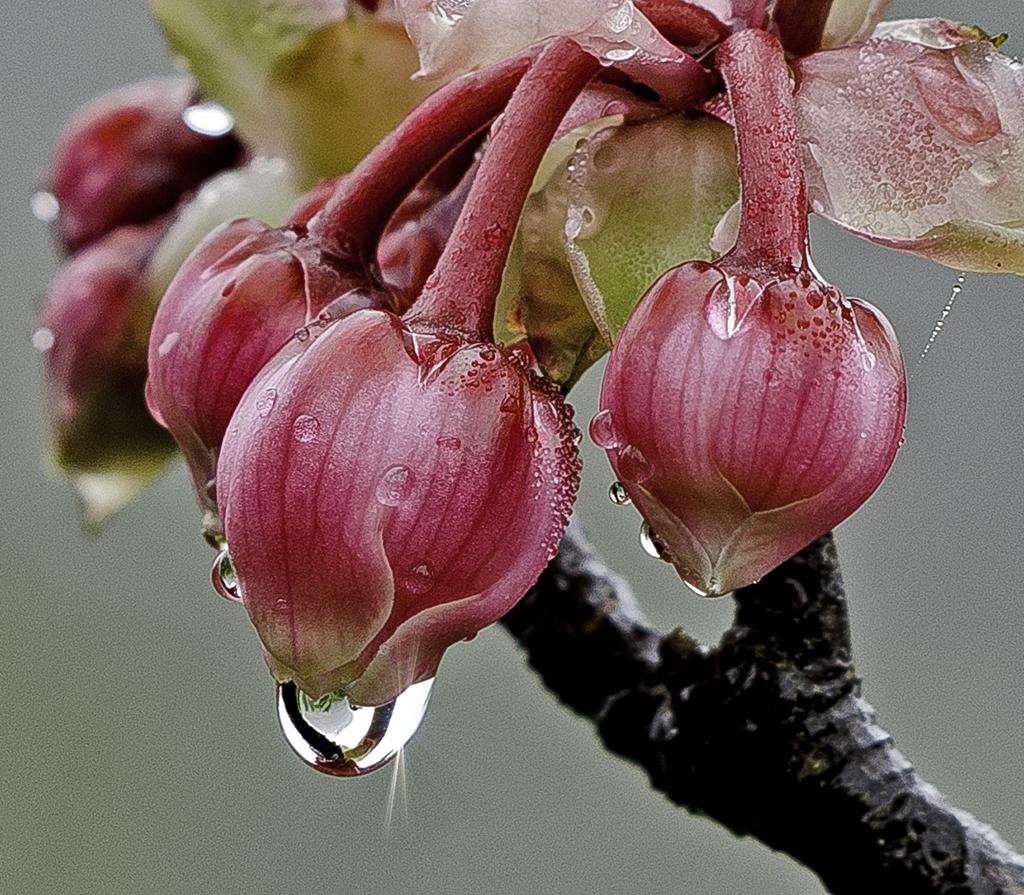 Hoa đào chuông ngày Tết