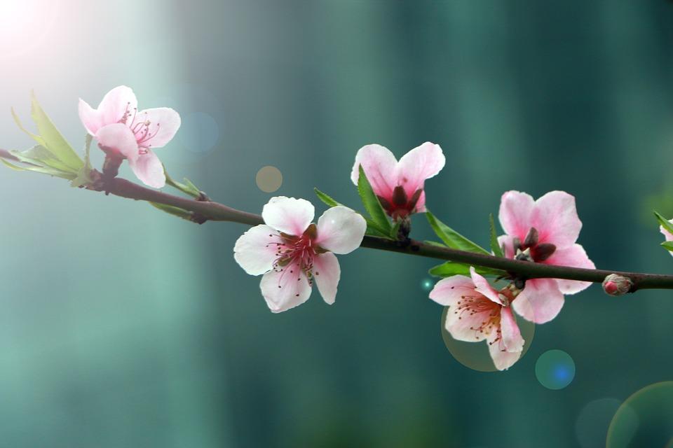 Hoa đào ngày Tết Đà Lạt hình ảnh đẹp nhất