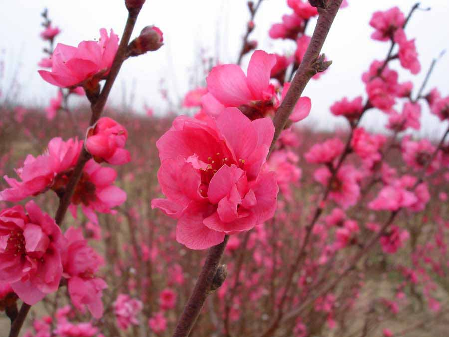 Hướng dẫn cách chăm sóc hoa đào ngày tết luôn đẹp