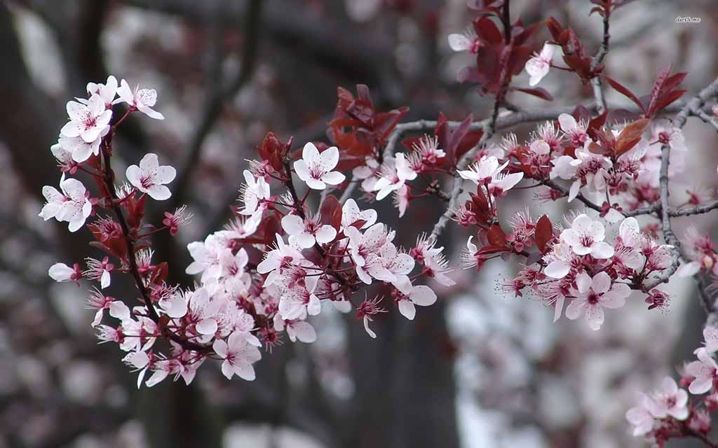 Những bài văn mẫu hay về tả hoa đào ngày tết