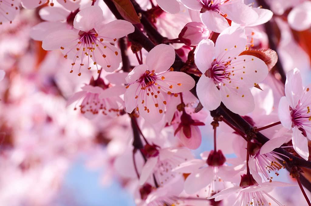 Những hình ảnh hoa đào ngày Tết đẹp nhất