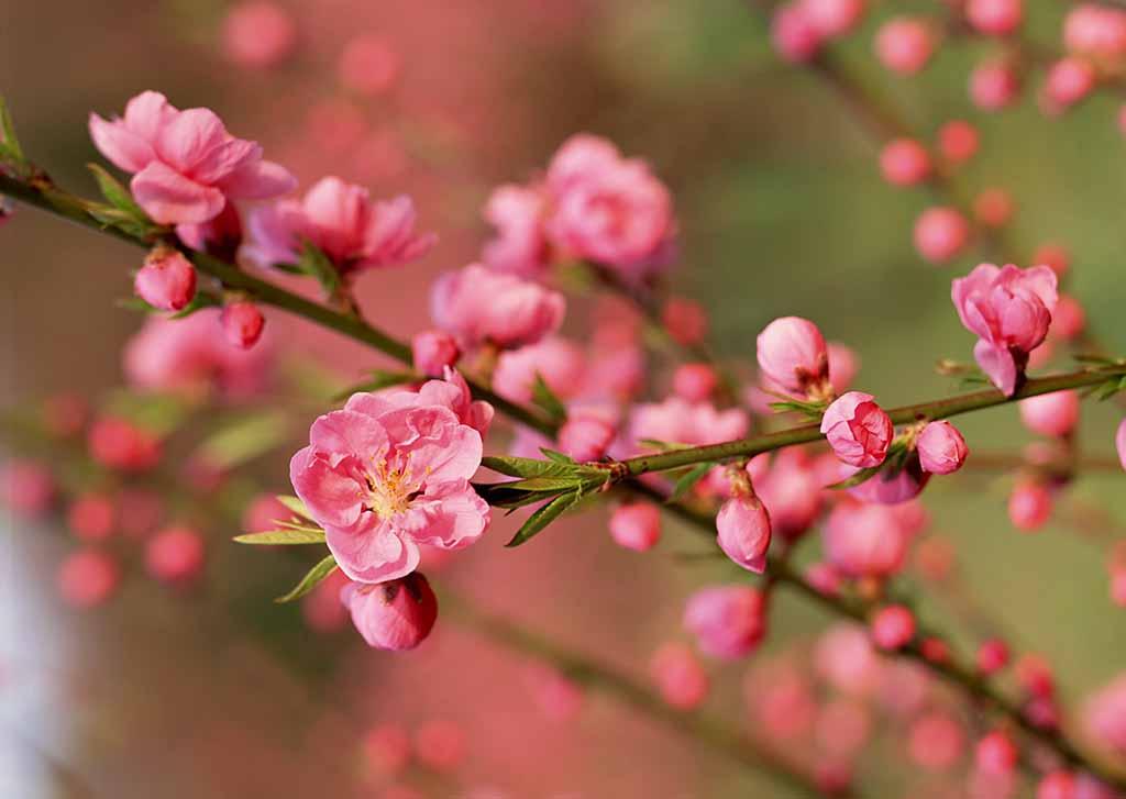 Những nụ hoa đào ngày Tết khoe sắc giữa nắng mai