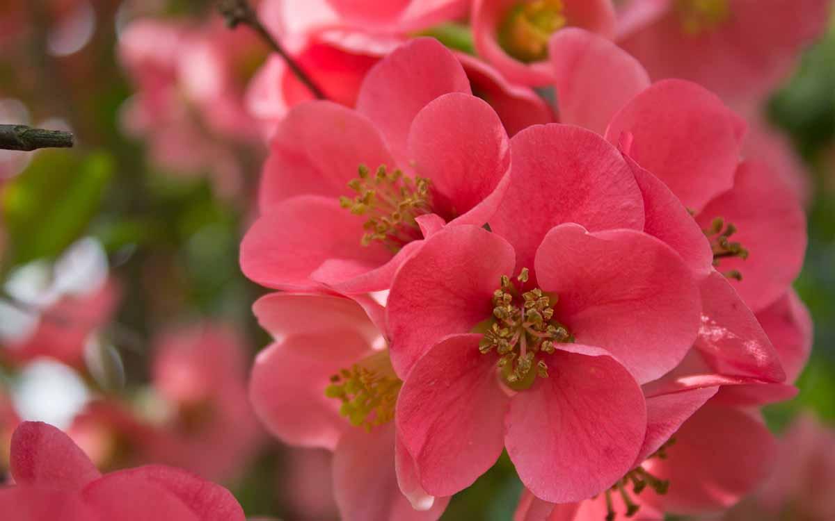 Tả cây hoa đào ngày tết lop 4