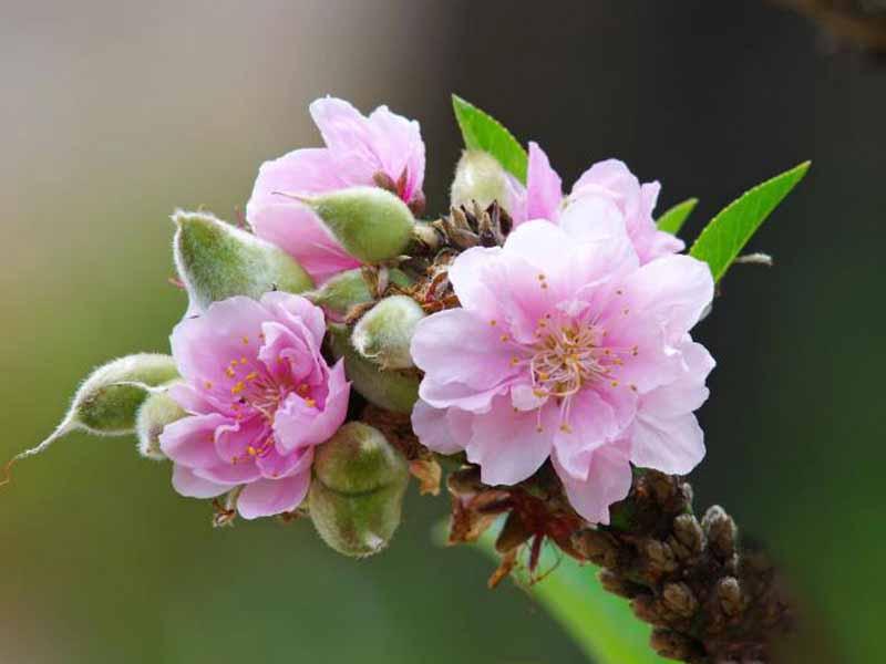 Thơ hoa đào ngày tết