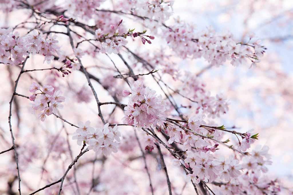 Thuyết minh hoa đào ngày tết trong lễ cổ truyền