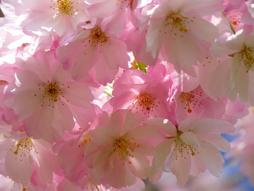 Vẻ đẹp ngây ngất của hoa đào ngày tết