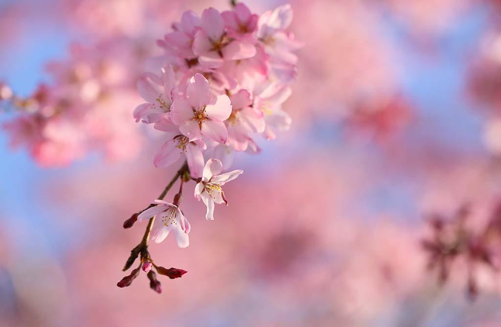 Video hoa đào ngày tết