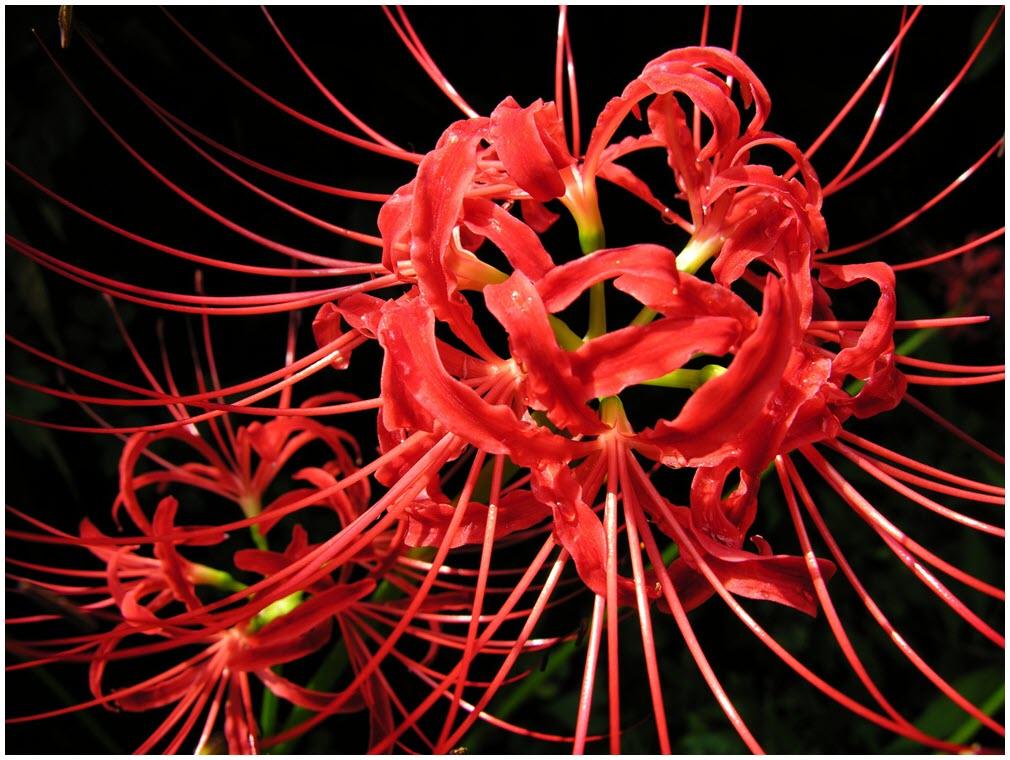Ảnh hoa Bỉ Ngạn đỏ đẹp