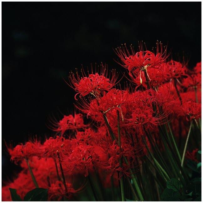 Ảnh hoa Bỉ Ngạn đỏ rực rỡ đẹp