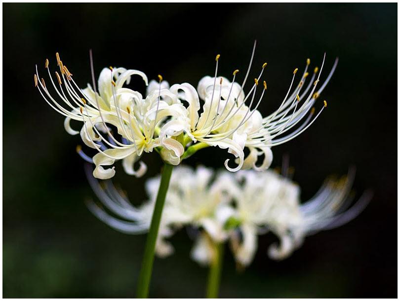 Ảnh hoa Bỉ Ngạn trắng đẹp