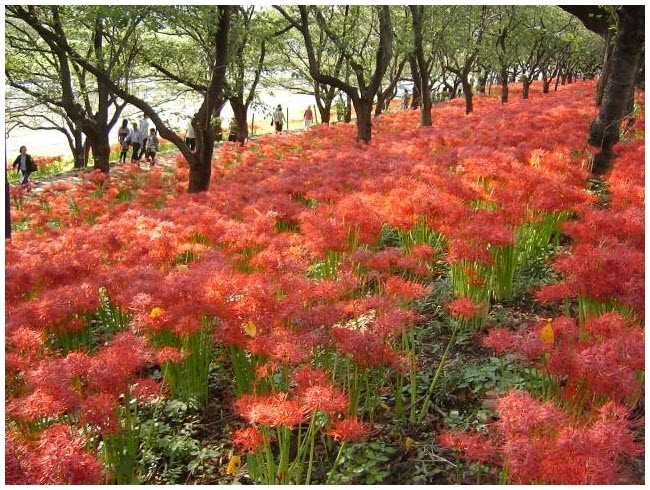 Ảnh rừng hoa Bỉ Ngạn đẹp