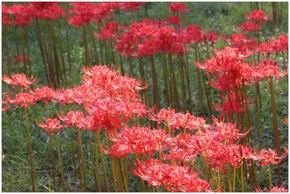 Ảnh vườn hoa Bỉ Ngạn