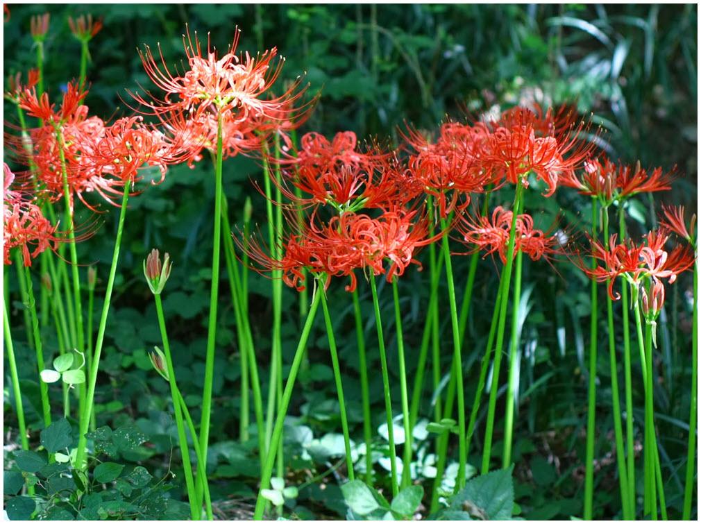 Cây hoa Bỉ Ngạn đẹp