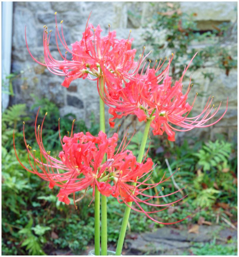 Hình ảnh hoa Bỉ Ngạn đỏ đẹp