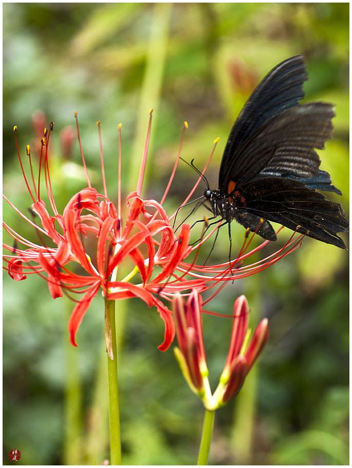 Hình Bỉ Ngạn hoa đẹp