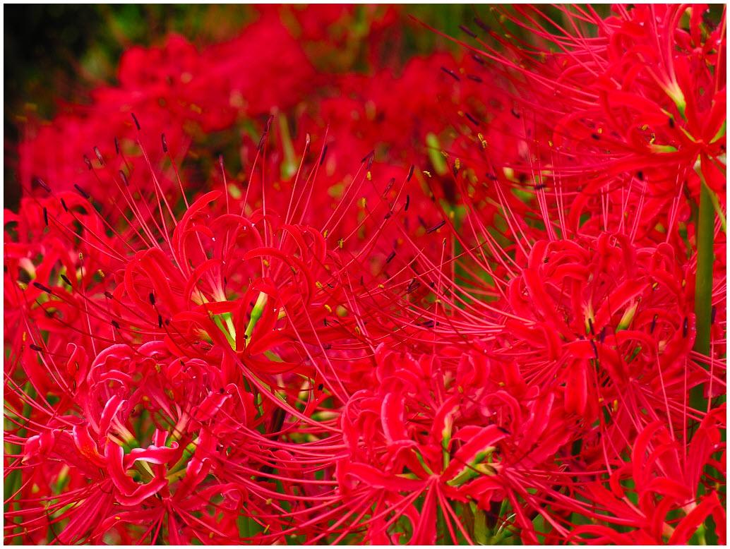 Hình hoa Bỉ Ngạn đỏ rực rỡ