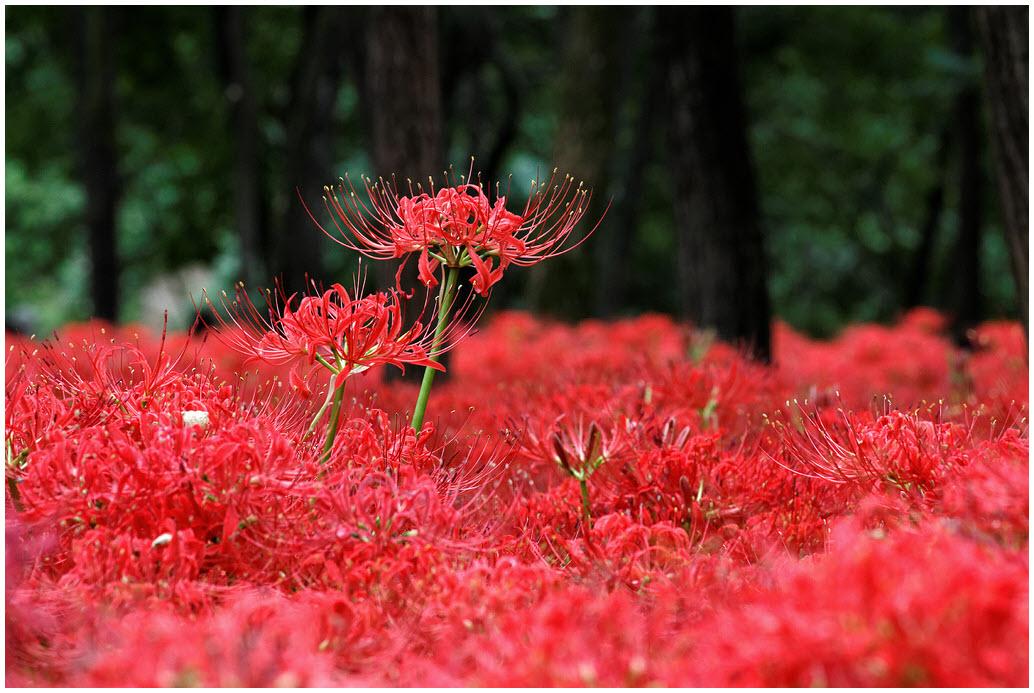 Hình hoa Bỉ Ngạn đỏ