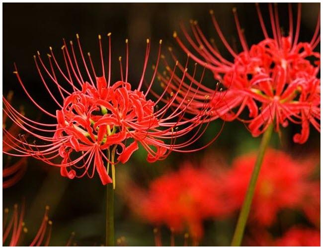 Hoa Bỉ Ngạn cực đẹp