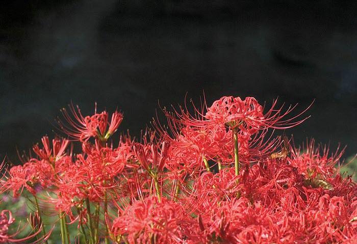 Hoa Bỉ Ngạn đẹp