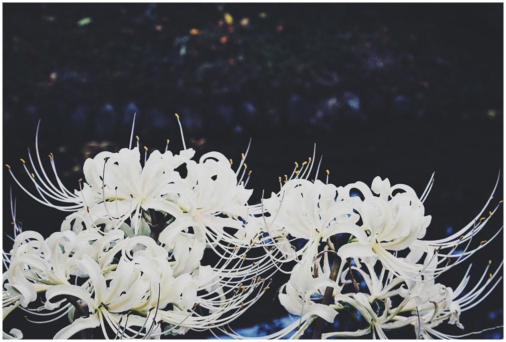 Hoa Bỉ Ngạn trắng đẹp