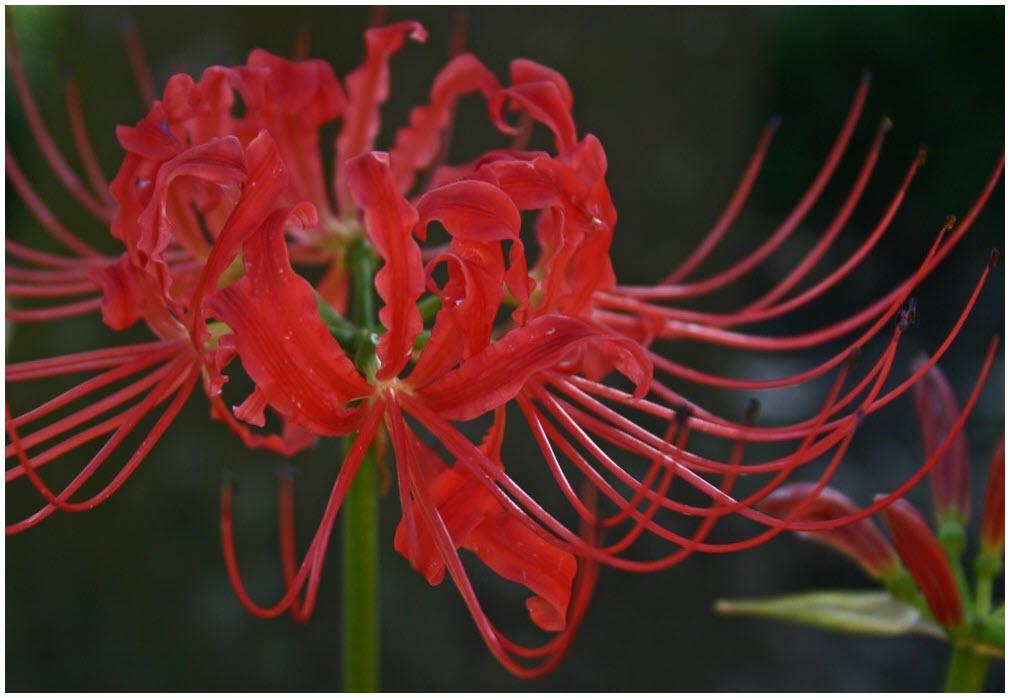 Hoa Bỉ Ngạn và truyền thuyết hoa Bỉ Ngạn