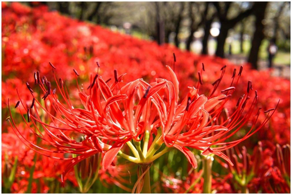 Rừng hoa Bỉ Ngạn đẹp