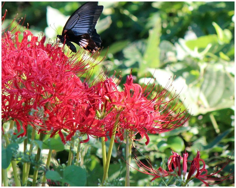 Truyền thuyết và ý nghĩa hoa Bỉ Ngạn