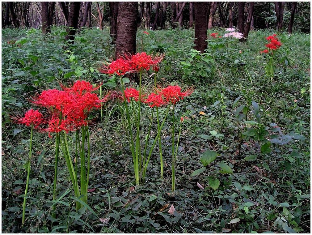 Truyền thuyết về hoa Bỉ Ngạn