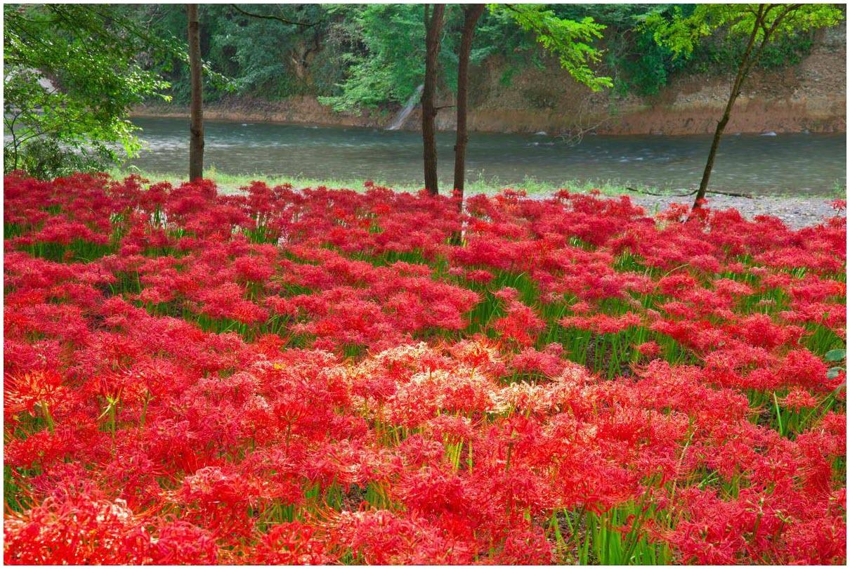 Vườn hoa Bỉ Ngạn đẹp
