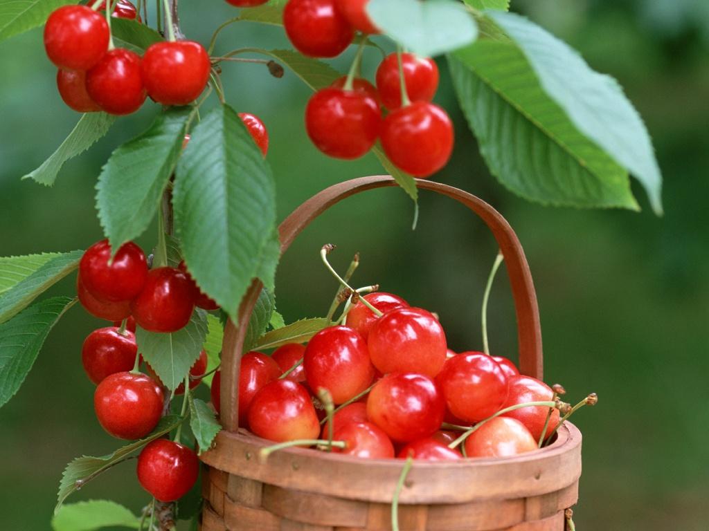 Cách trồng quả cherry