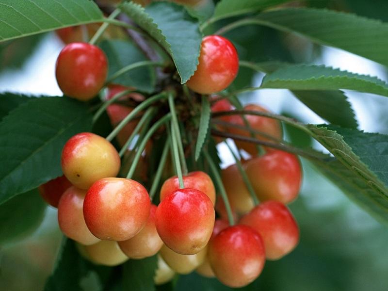 Cherry anh đào quả đẹp nhất