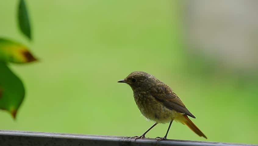 Hình ảnh chim Họa Mi đẹp nhất