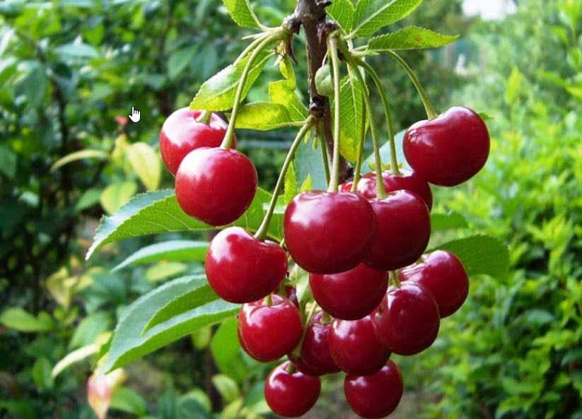 Hình ảnh quả cherry anh đào ở nga