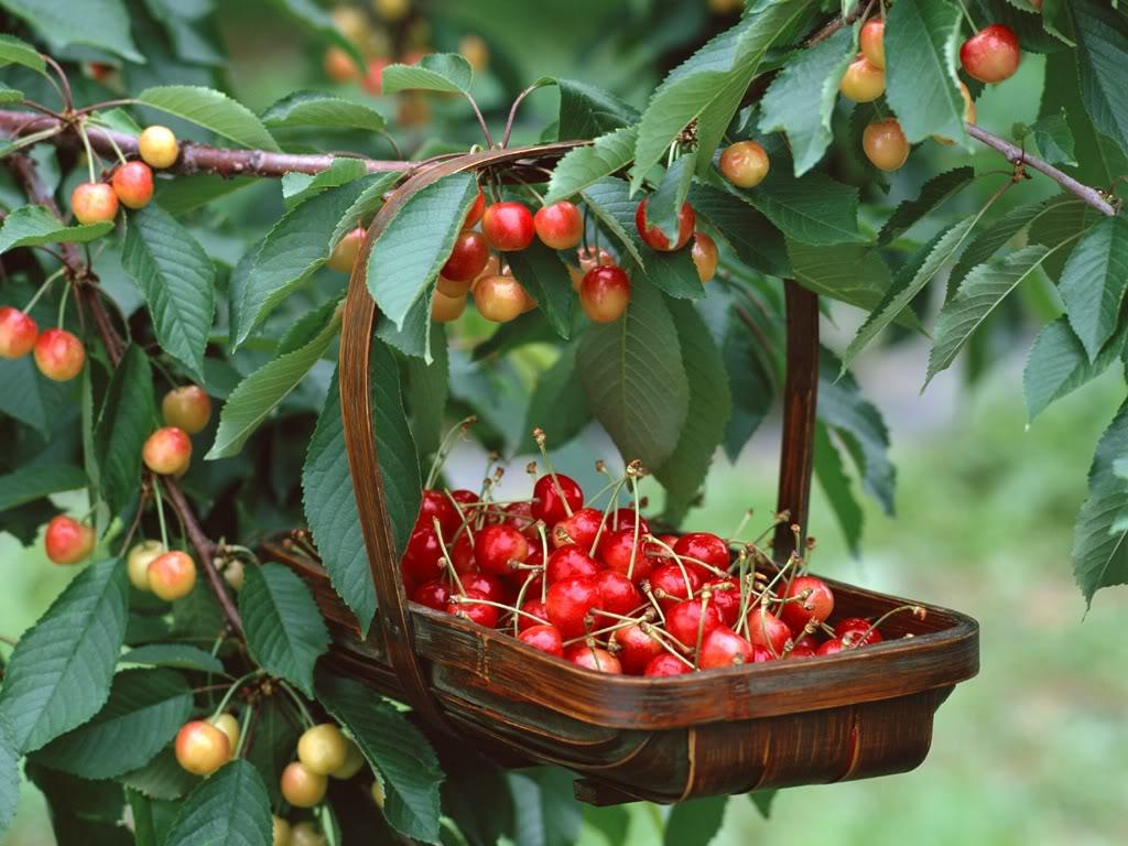 Hình ảnh quả cherry đẹp nhất