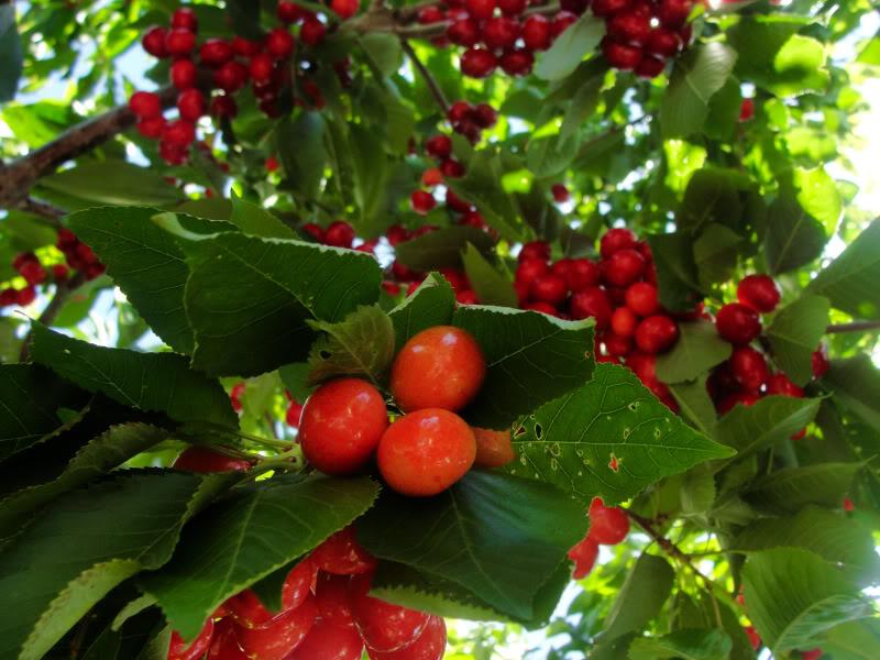 Hình ảnh quả cherry Úc tươi ngon đẹp nhất