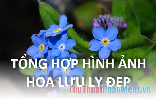 Hoa Lưu Ly - Tổng hợp hình ảnh hoa Lưu Ly đẹp nhất