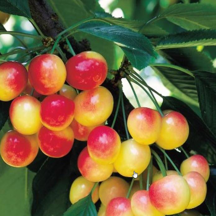 Sưu tầm hình ảnh quả cherry