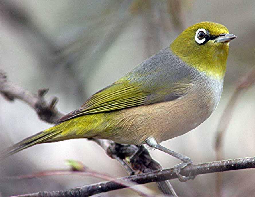 Sưu tầm những hình ảnh chim Họa Mi đẹp nhất