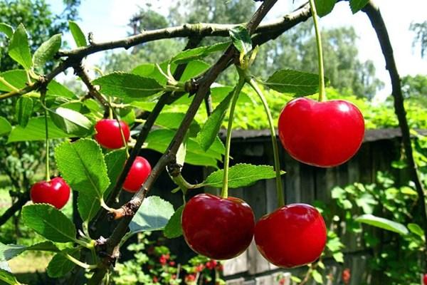 Sưu tầm những hình ảnh đẹp nhất về quả cherry